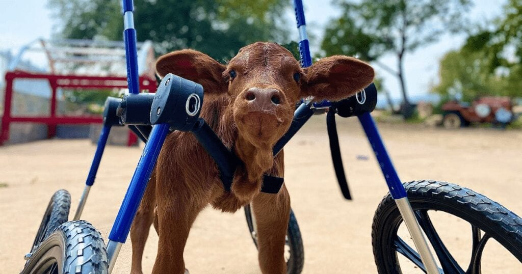 Baby calf born with a disability in her back legs gets fitted with a custom wheelchair