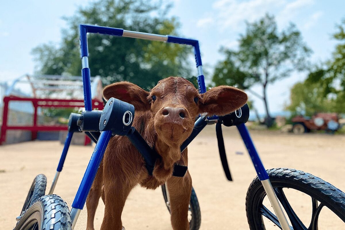 Baby calf born with a disability in her back legs gets fitted with a custom wheelchair.