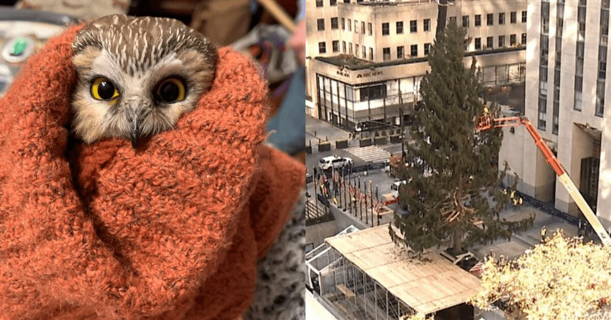 Tiny owl rescued from the Rockefeller Center Christmas tree after traveling 170 miles to NYC
